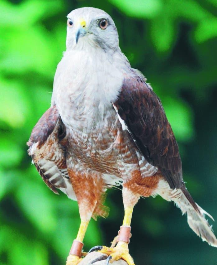 Gavilán de la Hispaniola biografía autorizada de un ave en extinción