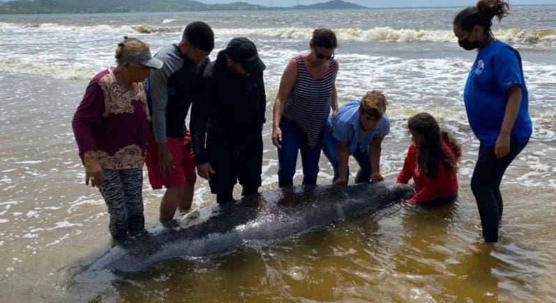 Rescatan un manatí varado en una playa de Puerto Rico