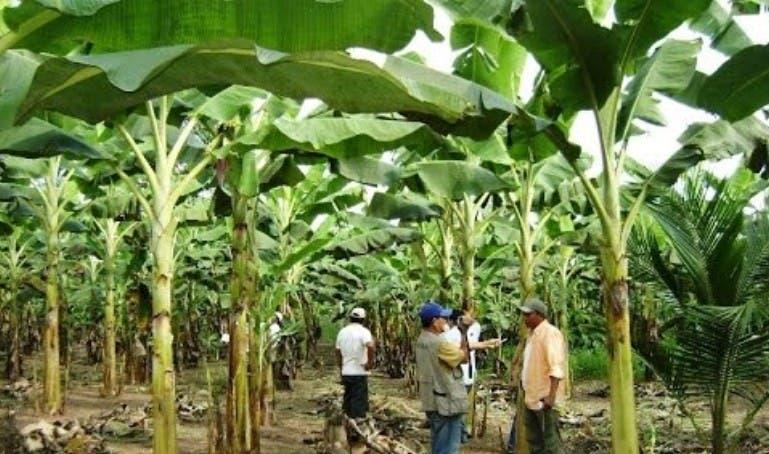 Dicen lluvias en el sur benefician cultivos víveres