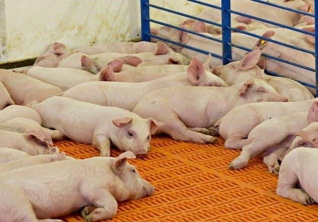 Inquietud: Fiebre porcina