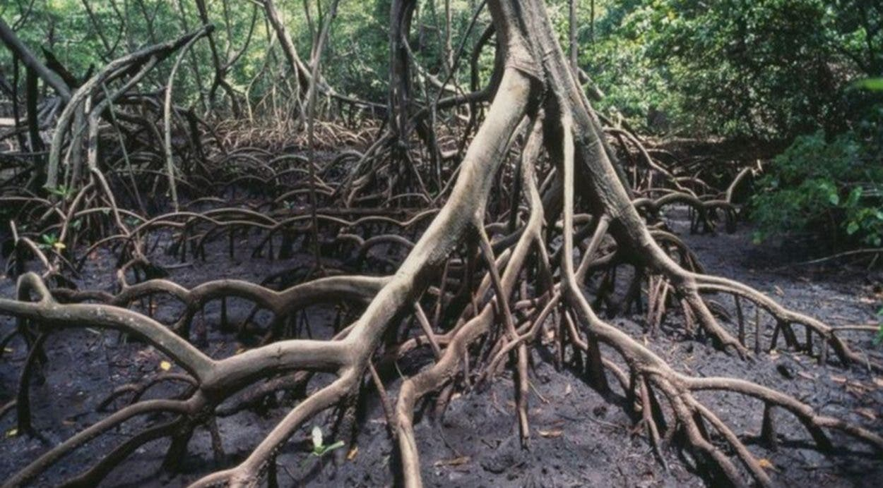 Reconocen lucha RD para salvar manglares