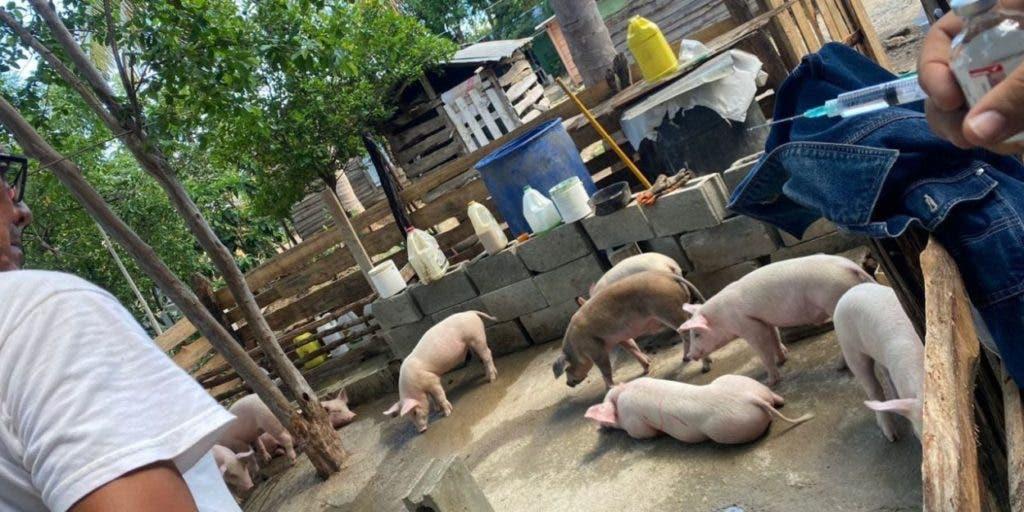 Aseguran muerte cerdos fue por descuido