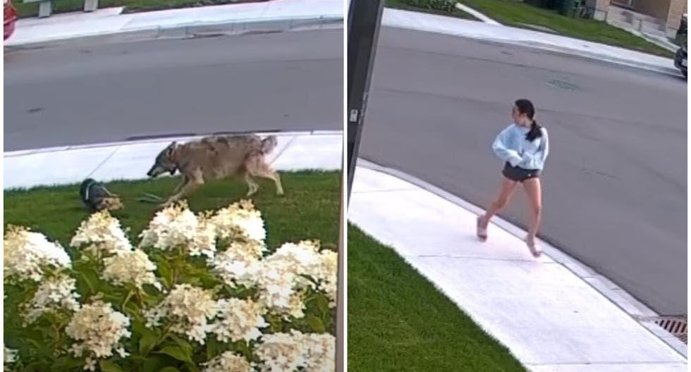 Perrita defiende a su dueña de un coyote