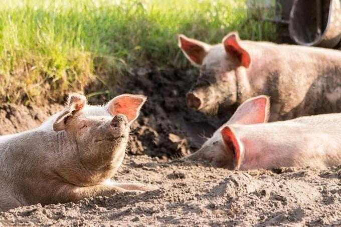 Puerto Rico busca blindarse ante brote de peste porcina en R.D
