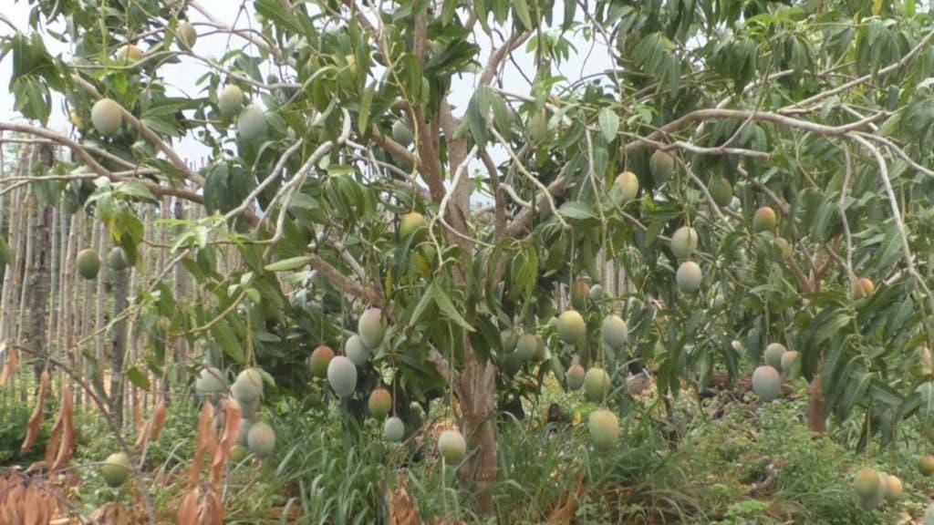 Para evitar la cosecha de mangos los productores han decidido regalar el fruto a la población.
