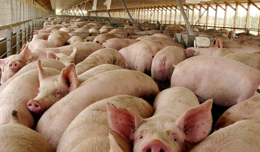 Alertan sobre riesgo alimentario por peste porcina en América