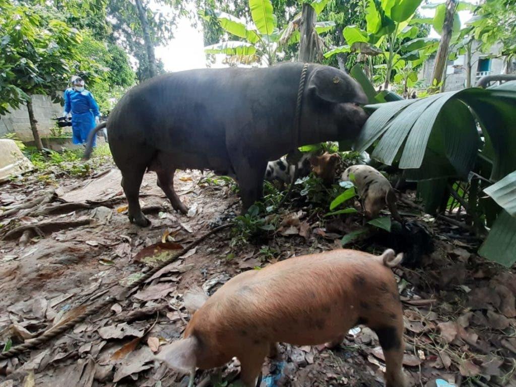 El Ministerio de Agricultura inició la intervención de algunos criaderos de cerdos en Cotuí, con el objetivo de frenar la fiebre porcina que ya está presente en 11 provincias del país.