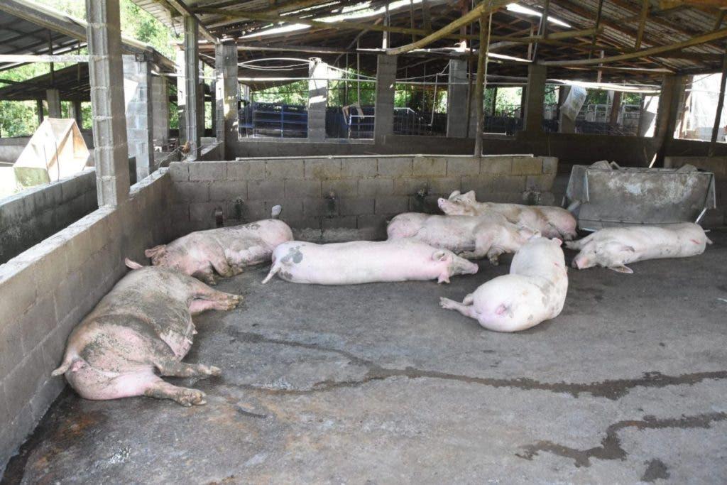 La peste porcina ha sido detectada ya en 14 provincias del país ha afectando a miles de cerdos.