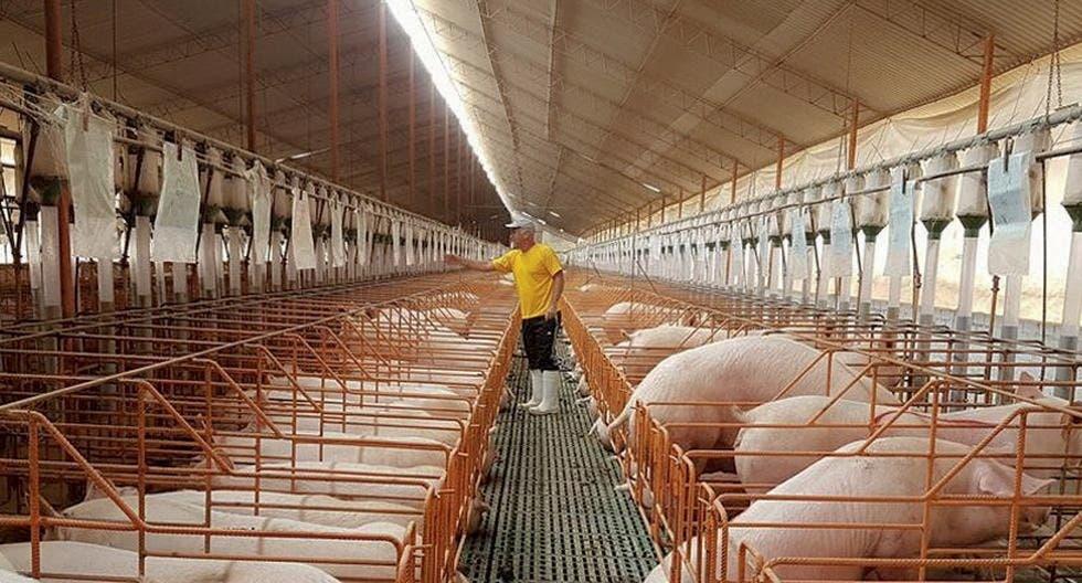 Adogranja: población puede estar segura de consumir carne cerdo