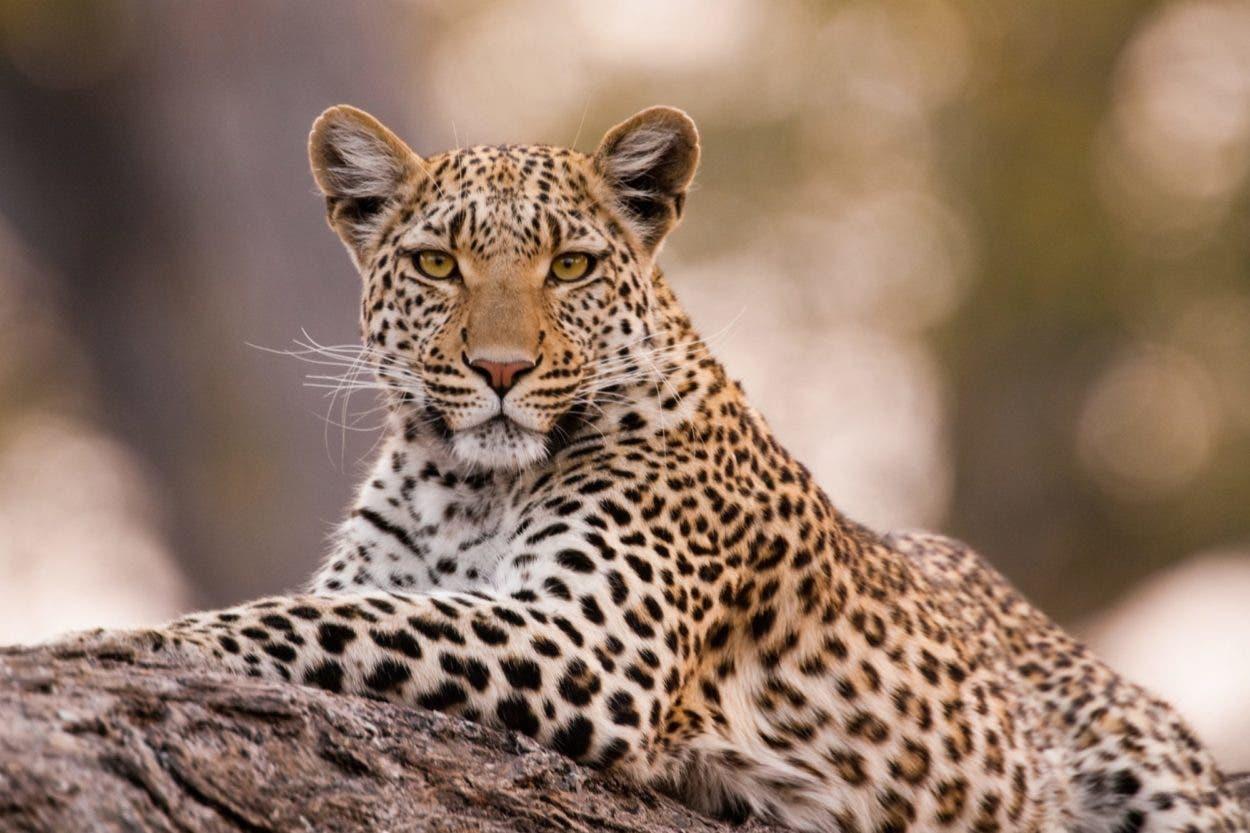 Leopardo muerde modelo en la cara
