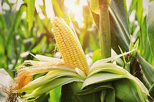 Inician siembra 30 mil tareas de maíz